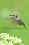 Hummingbird (female)