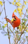 Cardinal With Blossum